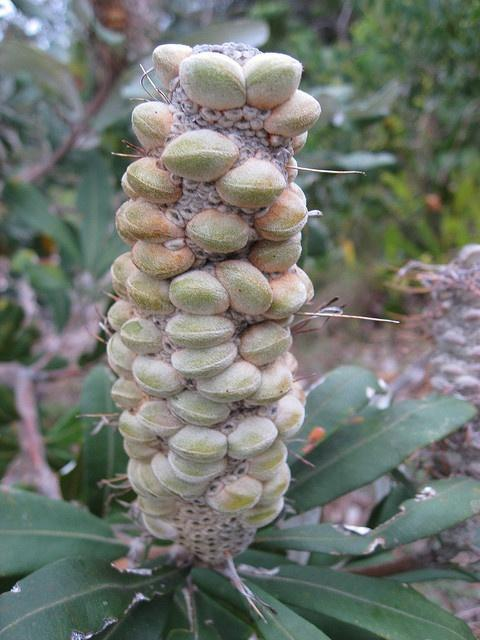 Banksia integrifolia with new seedpods